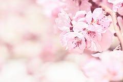 blossoming вал вишни Стоковое Изображение RF