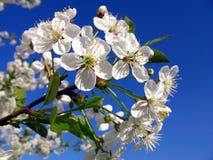 blossoming вал вишни Стоковое Изображение