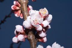 blossoming вал макроса вишни ветви стоковые фото