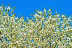 blossoming вал весны Стоковые Фото