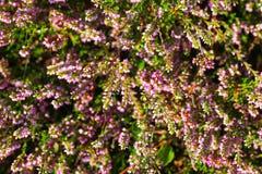 Blossoming вереск в лете Стоковое фото RF