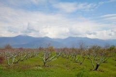 blossoming весна персика сада Стоковое Изображение RF