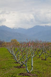 blossoming весна персика сада Стоковые Фотографии RF