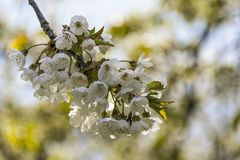 Blossoming ветви вишни Стоковые Фото