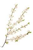 Blossoming ветви вишни Стоковое фото RF