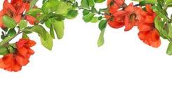 Blossoming ветви дерева гранатового дерева на белизне Стоковые Изображения