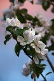 Blossoming ветви на трудной предпосылке Стоковые Изображения RF