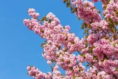 Blossoming ветви японской вишни Сакуры против голубого неба 1 предпосылка цветет пинк Стоковая Фотография RF
