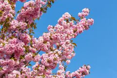 Blossoming ветви японской вишни Сакуры против голубого неба 1 предпосылка цветет пинк Стоковое фото RF