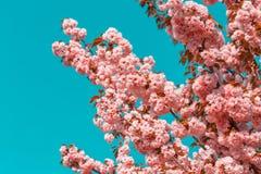 Blossoming ветви японской вишни Сакуры против голубого неба 1 предпосылка цветет пинк фото тонизировало Стоковые Изображения RF