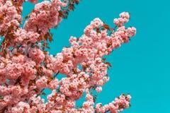 Blossoming ветви японской вишни Сакуры против голубого неба 1 предпосылка цветет пинк фото тонизировало Стоковое Изображение
