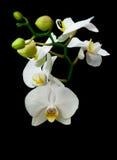Blossoming ветвь белой орхидеи изолированная на черной предпосылке Стоковые Изображения