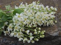 Blossoming ветвь белых цветков на камне Стоковые Фото