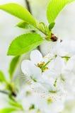 Blossoming ветвь вишни, конец вверх Стоковые Изображения RF