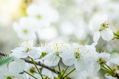 Blossoming ветвь вишни, конец вверх Стоковое Изображение