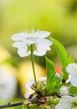 Blossoming ветвь вишни, конец вверх Стоковое Фото