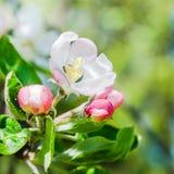 Blossoming ветвь вишни, конец вверх Стоковая Фотография