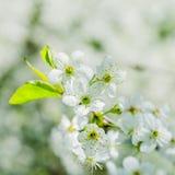 Blossoming ветвь вишни, конец вверх Стоковая Фотография RF