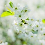 Blossoming ветвь вишни, конец вверх Стоковые Фото