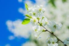 Blossoming ветвь вишни, конец вверх Стоковое Изображение RF