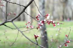 Blossoming ветвь дерева абрикоса на заходе солнца освещает Стоковое Фото