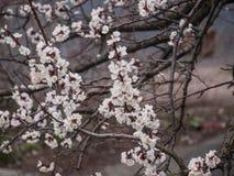 Blossoming ветвь дерева в апреле Стоковые Фотографии RF