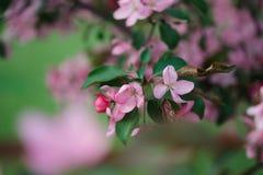Blossoming ветвь розовой яблони Стоковая Фотография RF