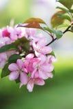 Blossoming ветвь розовой яблони Стоковые Фотографии RF