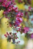 Blossoming ветвь розовой яблони Стоковое Фото