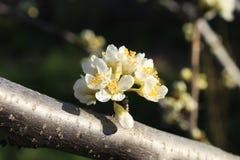 Blossoming ветвь сливы Стоковые Фото