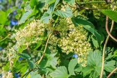 Blossoming ветвь хмеля, предпосылки стоковые изображения rf