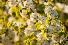 Blossoming ветвь Стоковое Фото