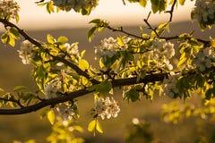 Blossoming ветвь Стоковые Изображения