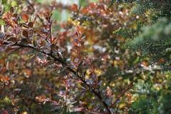 Blossoming ветвь thunbergii барбариса стоковое изображение