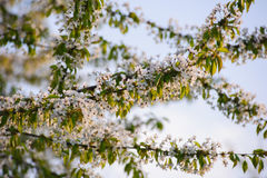 Blossoming вишневого дерева Стоковое Фото