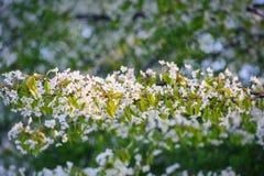 Blossoming вишневого дерева Стоковое Изображение
