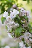 Blossoming вишневое дерево в мае в Москве Стоковая Фотография