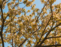 Blossoming вишневые цвета Стоковое Изображение