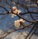 Blossoming вишни цветет весной время против голубого неба Стоковые Изображения