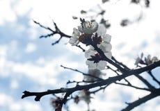 Blossoming вишни цветет весной время Стоковое фото RF