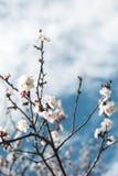 Blossoming вишни цветет весной время Стоковые Изображения