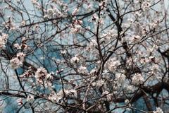 Blossoming вишни цветет весной время Стоковые Фото