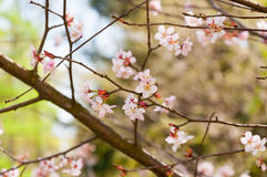 blossoming вишня ветви Стоковая Фотография