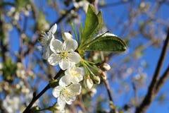 Blossoming, вишня Стоковые Фото