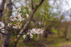 blossoming вишня Стоковое Фото