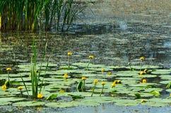 blossoming вода лилии Цветя желтый цвет лилии воды и тополь fl Стоковые Изображения