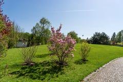 Blossoming дерево магнолии в парке Стоковая Фотография