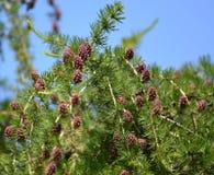 Blossoming европеец лиственницы (мельница Larix Decidua ), то стоковое изображение rf