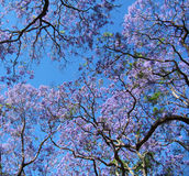Blossoming дерева Jacaranda Небо весны Стоковые Фото