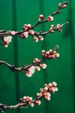 Blossoming дерево весны Стоковая Фотография
